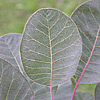 Explore Leaf Apex