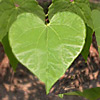 Learn More About Cordate  Leaf Shapes
